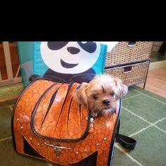 Dog in a purse!