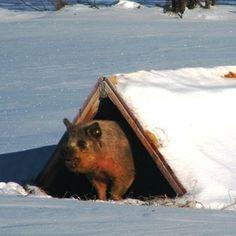 Wintering Pigs on Pasture – Homesteading and Livestock –… Pig Shelter, Berkshire Pigs, Kune Kune Pigs, Pig Farming, Farming Ideas, Sheep Pig, Pot Belly Pigs, Pig Pen, Future Farms