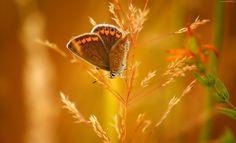 Motyl, Kłos Trawy, Makro
