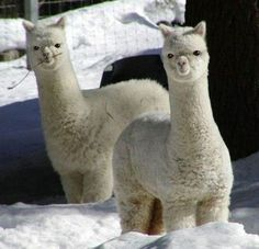 alpacas are my favorite things ever. Right up with turtles:)