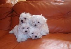 You can never had too many Maltese dogs around!!