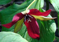 Provincial flower of Ontario, Red Trillium
