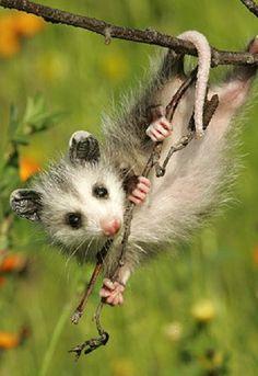 opossum just hang'n