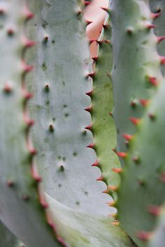 Agave by Melissa Berard, via Flickr
