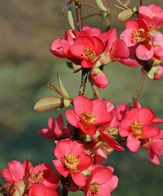 Chaenomeles speciosa (common flowering-quince): Go Botany