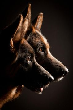 #German #Shepherds.......Beautiful picture!