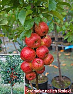 Malé stromy s velkou úrodou jsou ideální pro malé zahrádky. Jablolň ´Garden Sun Red´ patří mezi zakrslé ovocné stromky se šťavnatými, sladkými plody běžné velikosti. Nemáte zahradu? Přesto můžete sklízet vlastní úrodu! Tyto ovocné stromky jsou speciálně vyšlechtěné k pěstování v květináči na terase či balkonu. Nepotřebují moc místa, jsou malé a přesto plodí pěkné, velké plody vynikající chuti.