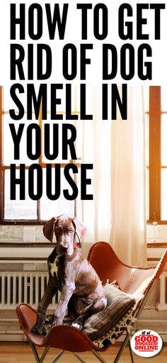 If you're doing some cleaning for the holidays, you might be wondering: How to get rid of dog smell in the house. Check out these cleaning tips for dog owners. Whether its dog pee smell or just dog smell, check it out. Dog Pee Smell, Dog Smells, Dog Urine, Pet Odors, Dog Care Tips, Pet Care, Pet Tips, Party Deco, Cat Dog