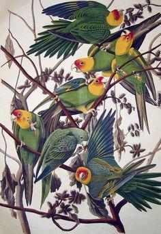 By John James Audubon, Carolina Parrot, from The Birds of America, 1827-38, Havell XXVI, hand-colored aquatint/engraving.