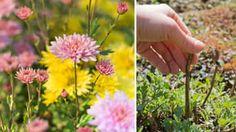 Chryzantémy a iné trvalky na jar: Rezali ste v jeseni či treba teraz?