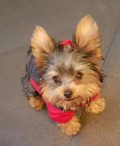 Yorkie Puppies And Kitties, Cute Puppies, Pet Dogs, Dog Cat, Doggies, Baby Animals, Funny Animals, Cute Animals, Funny Animal Pictures