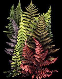 """ferns"" scans by ellen hoverkamp helecho · fern · samambaia · farne · fougère · felci · varen Shade Plants, Cactus Plants, Garden Plants, Foliage Plants, Herb Garden, Garden Hose, Potted Plants, Garden Art, Deco Floral"