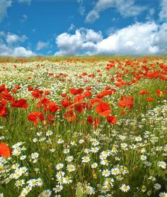 a field of poppies and daisies how i would love this in the so called grass we call the front yard. Wild Flower Meadow, Wild Flowers, Landscape Photography, Nature Photography, Fuerza Natural, Jolie Photo, Types Of Flowers, Fantastic Art, Red Poppies