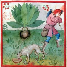 """Harvesting the mandrake, Tacuinum sanitatis, Rhineland century (BnF, Latin fol. Illustration Botanique, Botanical Illustration, Antique Illustration, Medieval Life, Medieval Art, Medieval Manuscript, Illuminated Manuscript, Illustrations, 15th Century"