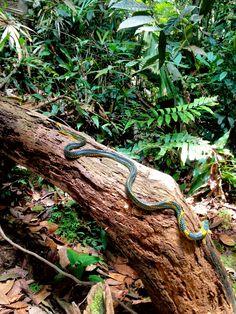 Royal Tree Snake (Gonyophis margaritata)