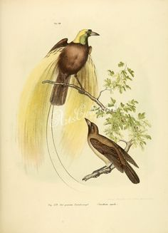 Greater Bird-of-paradise      ...
