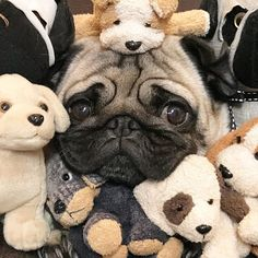 Animal Memes, Funny Animals, Cute Animals, Pet Dogs, Dog Cat, Doggies, Pug Cartoon, Pugs And Kisses, Paws And Claws