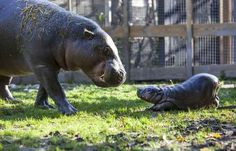 Baby pig my hippo playing with her mother, Krakunia. | Stop What You're Doing And Look At This Tiny Hippo