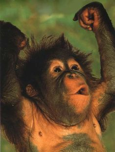 photograph of a muscle-bound young orang utan Funny Animal Memes, Funny Animal Pictures, Funny Animals, Funny Humor, Cute Baby Animals, Animals And Pets, Baby Orangutan, Chimpanzee, Cute Monkey