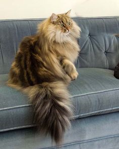 Norwegian Forest Cat - Wegiekatt Timbre - I heard somewhere that these are one of the most expensive breeds of cats. So gorgeous.
