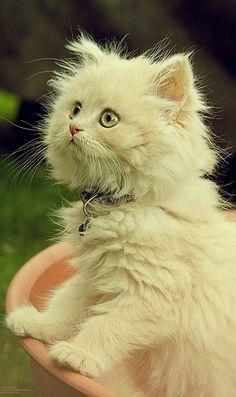 Romeo Kitten.. (by n1tn4t on Flickr)