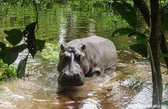 Hippopotamus in the Congo © Christian Molango for WCS Congo Congo Rainforest, Rainforest Animals, Zoo Animals, Book Of Job, Majestic Animals, African Animals, Hippopotamus, Wildlife Photography, Mammals