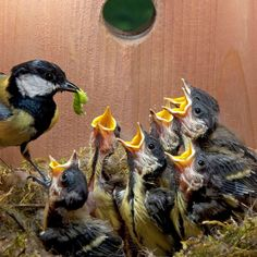 A Great Tit family, in a nest box. Photo: Juniors Bildarchiv GmbH/Alamy