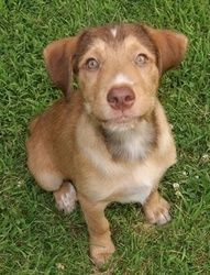 Tate- FOSTERED IN CT is an adoptable Labrador Retriever Dog in Willington, CT. FOSTERED IN CT...Meet Tate! Tate is a 12 week old Lab/Aussie mix boy who was the product of an unplanned litter and left ...