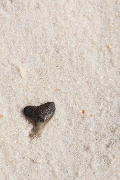 Heart shaped shark tooth  Alley Kat Photography Photo By Alley Kat Photography  Milky Way - Star Trails - Sunsets - Beach  Alley Kat Photography ~ Night & Day Photography  - Alley Kat Photography - { Pensacola – Mobile – Fairhope – Gulf Coast – Destin- Gulf Shores  – Foley   Photographer }