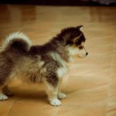 Pomeranian Husky for Sale