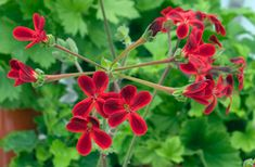 Pelargonium x Ardens, A cross between two species, P. lobatum and P. It was raised by James Lee of the Vineyard Nursery in Hammersmith, London around