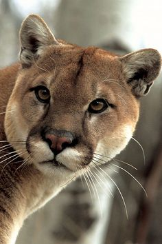 The Beautiful Puma or Mountain Lion. The Beautiful Puma or Mountain Lion. I Love Cats, Big Cats, Cool Cats, Cats And Kittens, Ragdoll Kittens, Tabby Cats, Funny Kittens, Bengal Cats, White Kittens