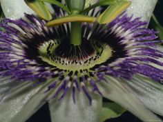 The Vivid Purple and Intricate Patterning of a Passionfruit Flower, North Carlton, Australia by Jason Edwards