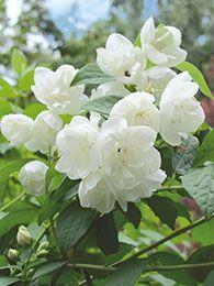 Beskæring holder buskene i form og giver blomstring