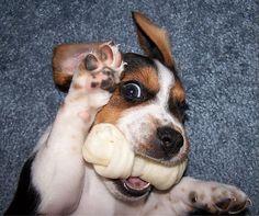 Nothing more precious than a beagle!!!!!!!!!!!!