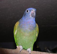 free-ads.eu - Birds classifieds: Blue headed Pionus for sale - free ads