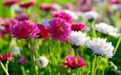 Perennials plants survive the winter and many produce beautiful flowers. Here is useful advice on growing perennials. Hd Flower Wallpaper, Frühling Wallpaper, Spring Flowers Wallpaper, Hd Flowers, Beautiful Flowers Wallpapers, Most Beautiful Flowers, Flower Backgrounds, Fall Flowers, White Flowers