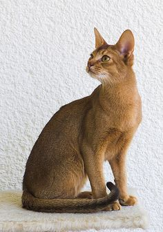Abyssinian Cat:   The Abyssinian cat breed looks like a small mountain lion with an expressive face and a ticked coat that shimmers. These cats are athletic, very active and graceful.