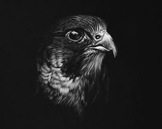 #peregrine #peregrinefalcon #falcon #birdofprey #bird #art #artist #picoftheday #photo #blackandwhite #gallery #instagood