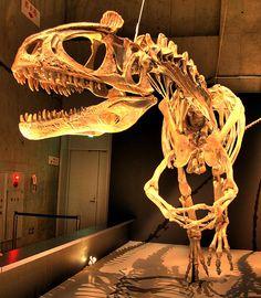 Squelette reconstruit d'un Cryolophosaurus, Musée HDR, Japon. Auteur : Kabacchi. 2009