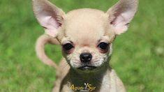 Criadero de Chihuahuas Aguasur-Alta Seleccion de Chihuahuas. #chihuahua