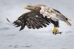 White Tailed Eagle - Mull Scotland