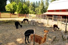 Family Felting Class At Aragon Alpaca Farm | Travel Oregon