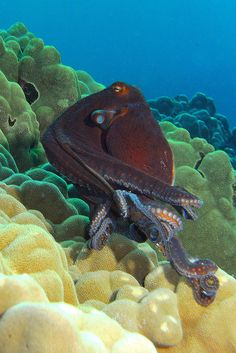 Octopus cyanea, also known as the big blue octopus, day octopus and Cyane's octopus by BarryFackler
