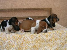 Basset Hound Mix Puppies at The Bad Room