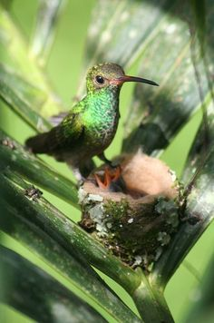 Hummingbird at nest with young - see the babies?