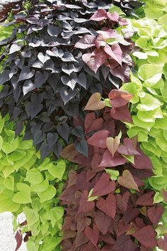 Try Sweet Potato Vines to add some all season color to your mix.