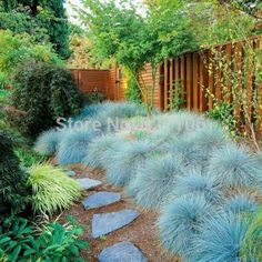100-Blue-Fescue-Grass-Seeds-perennial-hardy-ornamental-grass-so-easy-to-grow