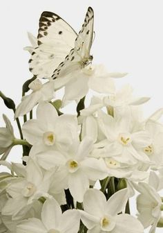 .'White butterfly on white flowers. Nature's exquisite gifts.