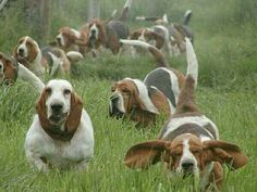 A herd of bassets! This must be a picture of Heaven!
